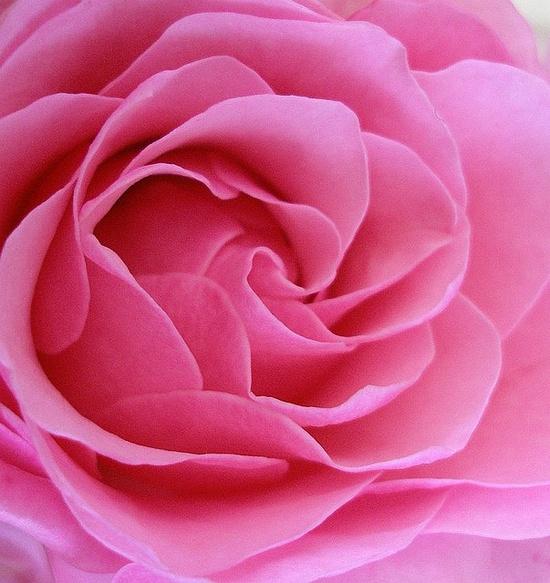 Rose glory