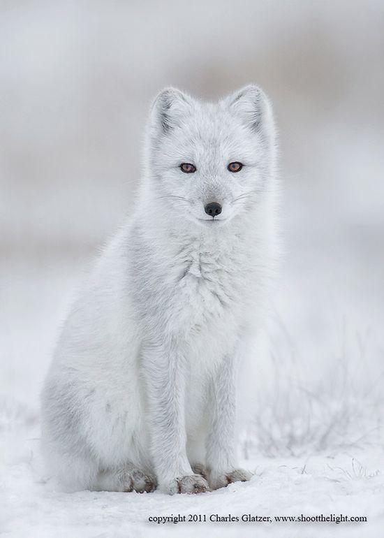 Arctic fox, Hudson bay, Canada