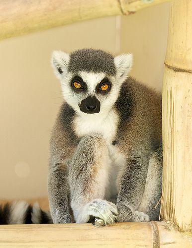 A lovely #lemur at the Safari Park. #LemurWalk #animals