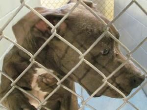 ADOPTED! Luke - CRITICAL! is an adoptable Pit Bull Terrier Dog in Nashville, NC. ~ URGENT ~ This pet is at what is considered a high killShelter. The Shelter is estremely small and the pets have very little ...