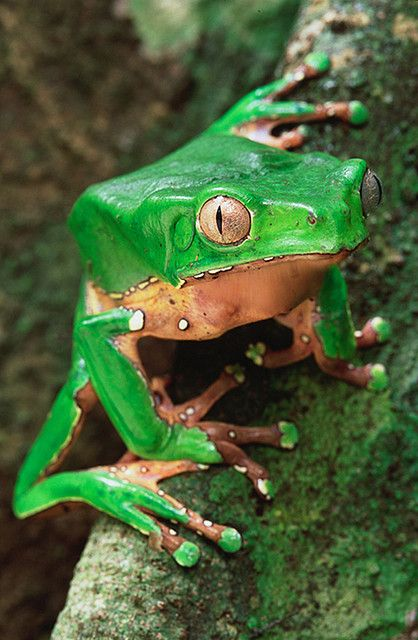 Green Poison Arrow Frog nature wildlife animals photography