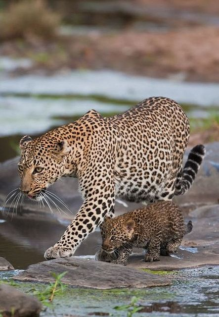 Leopard and Her Cub by rarecollection.ch, via Flickr