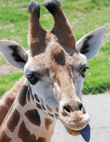 Giraffes have blue tongues.