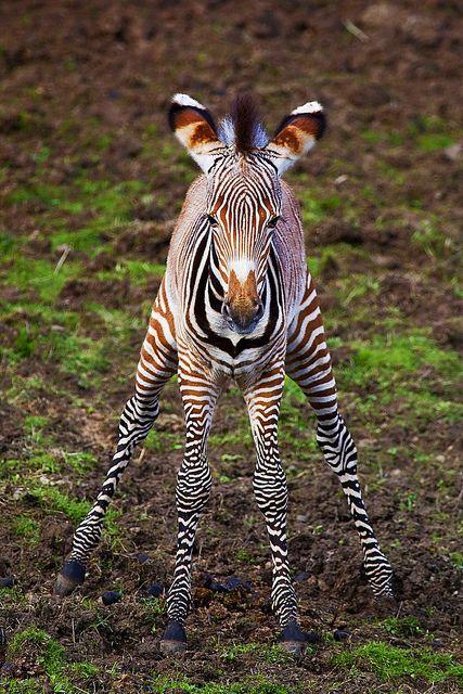 Baby Zebra - Doin' the Splits :)