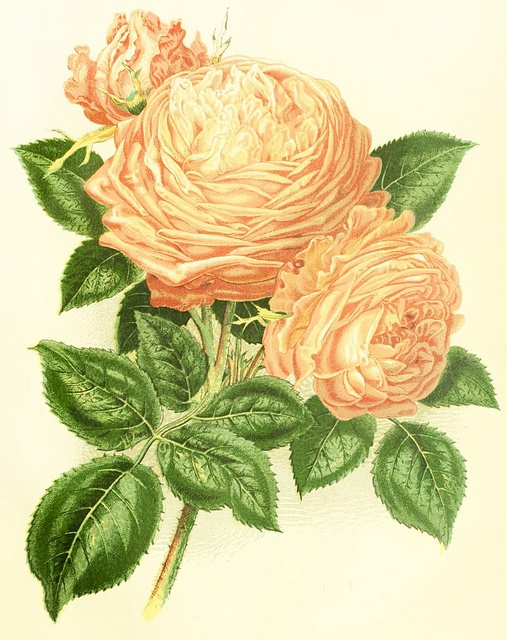A wonderfully pretty illustration from 1877 showing two lush rose de comtesse de serenye. #roses #Victorian #illustrations #botanical