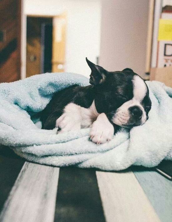 Baby #BostonTerrier