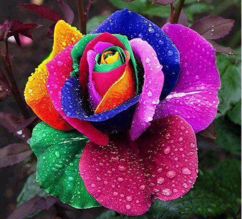 Multi-colored rose.