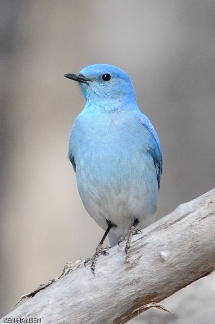 Birds : Mountain Bluebird