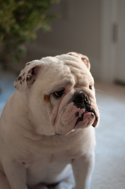Why the serious face, wrinkly darling? #bulldog #cute #dogs #animals #pets