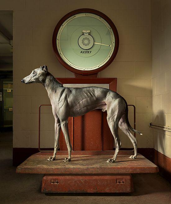 greyhound at weight
