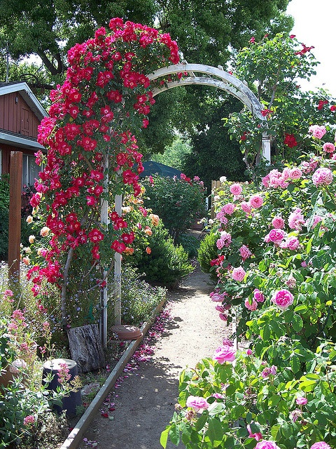 pink roses and roses on an arbor