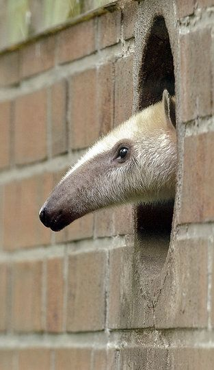 "So, the title of this is wrong. This is not a Giant anteater. This is a Tamandua or Collared anteater/ lesser anteater. ""Giant Anteater"" by Martin Meissner: A youngster looking out on the world at the Dortmund Zoo in Germany."