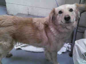 No longer available. A205074 is an adoptable Golden Retriever Dog in Conroe, TX. Please consider making me a family member! INQUIRIES : Visit the shelter or EMAIL ...  ...