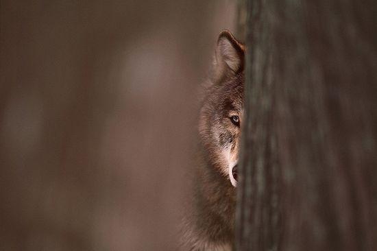 Jim Brandenburg...peek-a-boo wolf