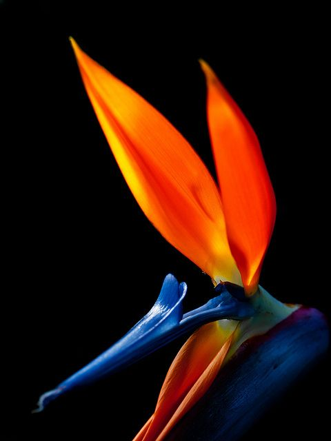 Bird of Paradise - someday the corners of our garden will be not unlike the corners of the Enchanted Tiki Room.