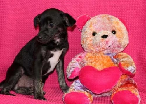 Aren't we the cutest little pups you ever saw? We are little Chihuahua/Hound dog mixes and we just love to play and kiss you all day long! We were born on June 11,2013. Our foster mama takes real good care of us but we're ready to leave this place...