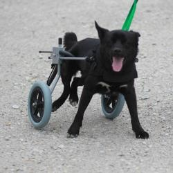#ILLINOIS ~  Brent is an #adoptable #SpecialNeeds Schipperke mix dog in #Springfield - He's currently at the shelter.  Please stop by the shelter any day from 12 to 5 to meet him .... he's ready to ROLL !!  ANIMAL  PROTECTIVE LEAGUE 1001 Taintor Rd  #Springfield IL mailto:petfinder@...  Ph 217-544-7387