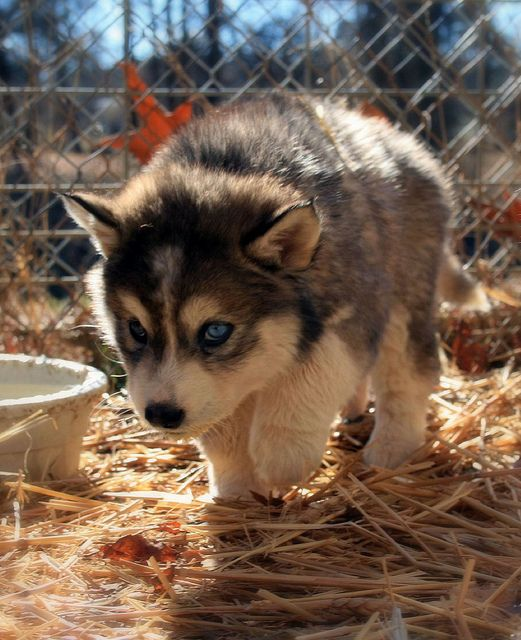 baby husky on the prowl. rawr.