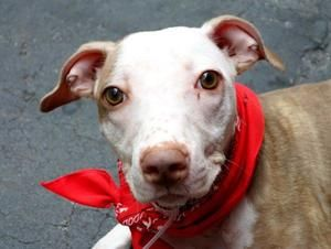 LILY is an adoptable Pit Bull Terrier Dog in New York, NY. A volunteer writes: Lily is a most adorable little girl of mysterious lineage. Whoever her parents are does not really matter. The result is ...