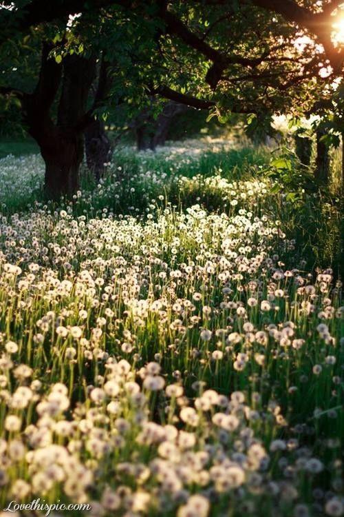 Field of Wishes flowers field wish dandelions blow weeds