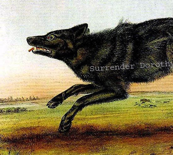 Black American Wolf Naturalist John J Audubon Wild Animal Natural History Lithograph Print To Frame