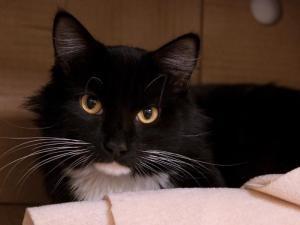 JOSH is an adoptable Domestic Long Hair Cat in Boston, MA.