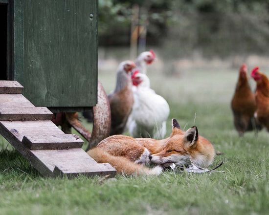 the fox and the chicken house