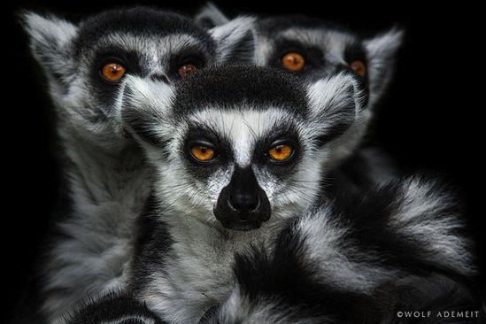 New Powerful Animal Portraits by Wolf Ademeit