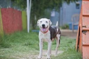 Billy is an adoptable Pit Bull Terrier Dog in Austin, TX. I was taken off of the euthanasia list, so if you adopt me, you are saving not only me but also the dog tomorrow who could use my spot! If you...