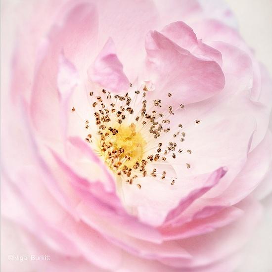 Rose English Miss