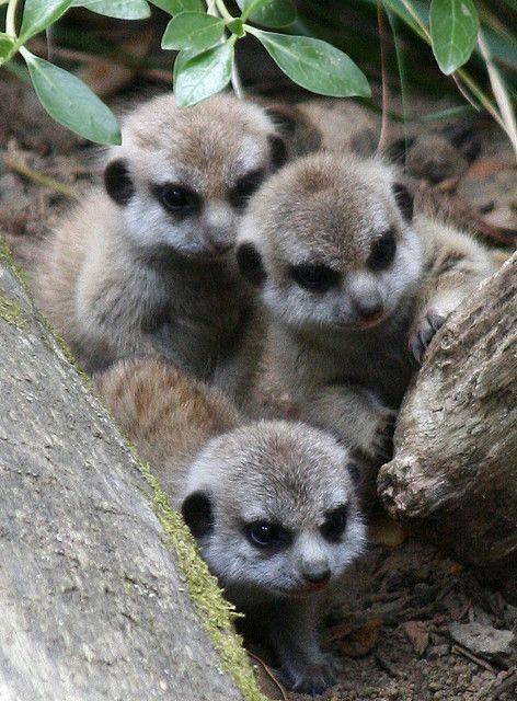 baby meerkats... My favorite animal at the zoo!