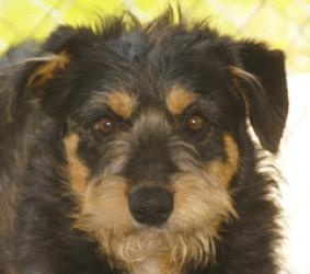 Ranger is an #adoptable Terrier Dog in #Peru, #NewYork. RANGER TERRIER MIX BLACK, TAN & WHITE ARRIVED 04/27/13 @35 LBS @ ONE-YEAR-OLD Ranger is a gorgeous young dog that was saved from being euthanized in a h...