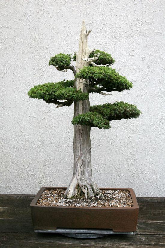 Juniper Bonsai, Formal Upright style (Chokkan).