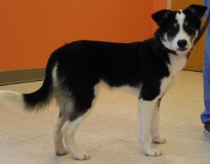 Olive is an adoptable Border Collie Dog in Portage, WI. Can't adopt? Sponsor me Adoption Process: Listed on Petfinder home page or www.cchswi.org Adoption fees: All puppies 7 months and under:$225 & u...
