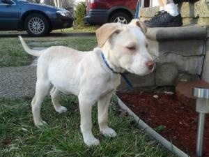 Spencer is an adoptable Terrier Dog in Rochester, MI. Meet Spencer! Spencer is a typical 10 week old puppy.  He was found as a stray and never claimed.  He is a bit on the thin side but we are working...Please click on pic for additional info on this dog????