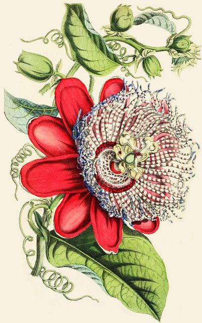 Passiflora, 1854. #Victorian #vintage #botanical #illustrations