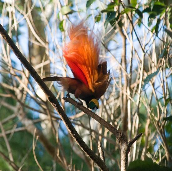 Raggiana's Bird of Paradise