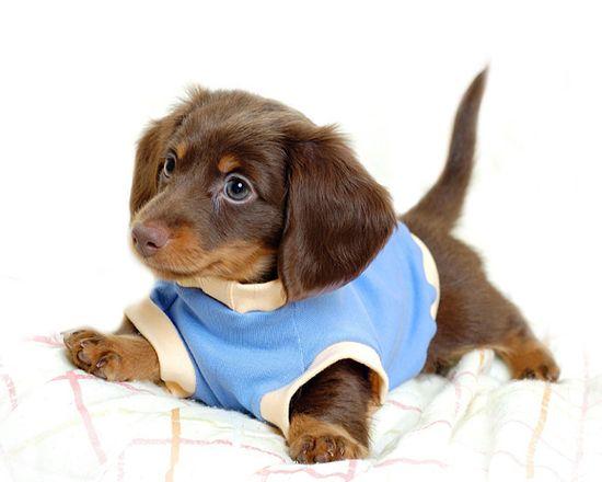 Dachshund Puppy Wearing a Sweater