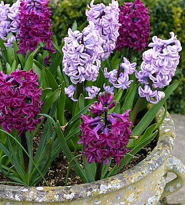 Potted spring bulbs