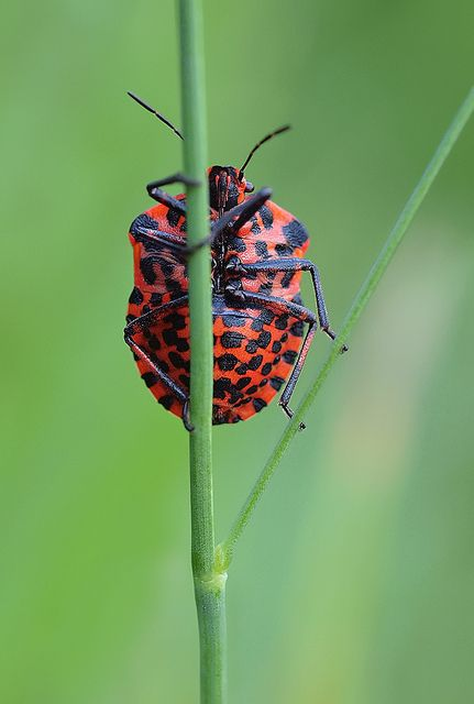 Graphosoma lineatum by orestART: Also known as the Italian Striped-Bug (It really does have stripes on its back!) or the Minstrel Bug, this is a species of shield bug commonly found in Europe, North Africa and the Near East.