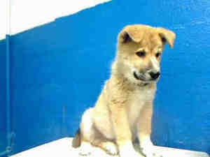A4466990 URGENT > LANCASTER SHELTER > BABY is an adoptable Chow Chow Dog in Lancaster, CA. **WE NEED DEDICATED VOLUNTEERS TO POST & REMOVE PETS ON PETFINDER. IF YOU CAN COMMIT TO THE CAUSE OF HELPING ...
