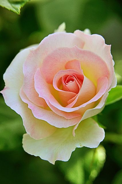 A single rose can be my garden... ~ pink rose by tortie_cat~~