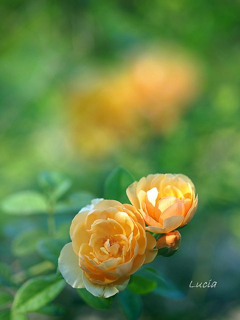 yellow roses...