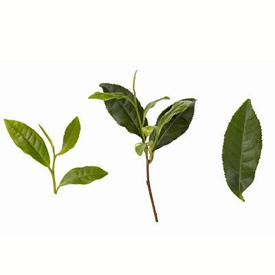 Green tea...here it is in its natural state