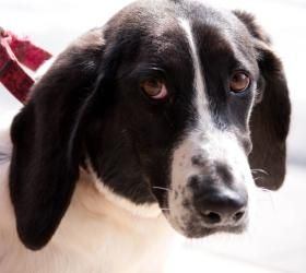 Tiffany is an adoptable Basset Hound Dog in Charlotte, NC. Tiffany is a 4 year old purebred basset hound. She is a rare color and is only black and white. She is very sweet and laid back and loves a g...