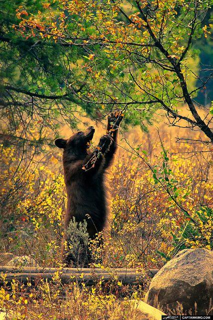 Bear eating, Grand Teton National Park, Wyoming