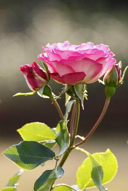 ? rose
