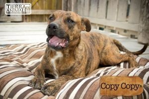 Copy Copy is an adoptable Pit Bull Terrier Dog in Calgary, AB. Copy Copy is a 1.5-2 year old mix from Cancun. He has a beautiful brindle coat and has a great temperament and is very lovable! Copy can ...