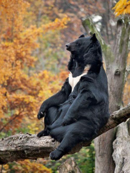 Asian Black Bear aka Moon bear aka White-chested bear