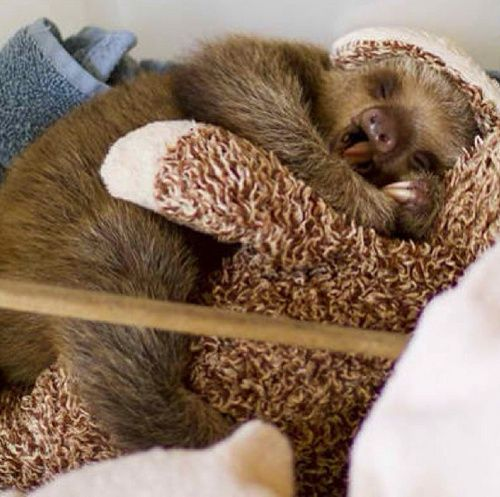Oh. My. Goodness. Baby sloths are so cute!
